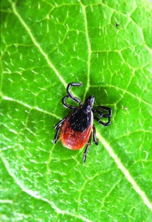 PHOTO COURTESY OF WIKIMEDIA / Lyme disease is primarily transmitted through exposure to deer ticks (above). Last year alone, there were some 7,140 diagnoses of Lyme disease in Pennsylvania, making it the No. 1 state for new cases. Within that, Bucks County ranks fifth for new cases out of all 67 counties.