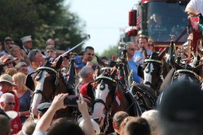 clydesdales-1